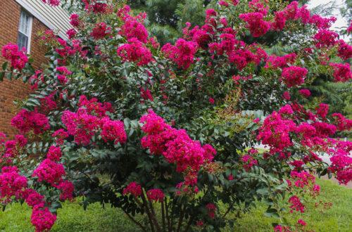 Pink Crape Myrtle Tree