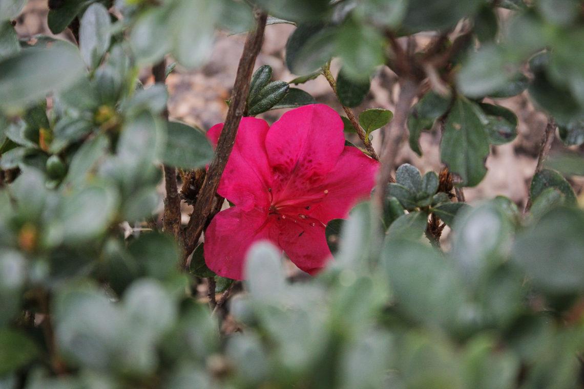 Azalea 'Autumn Ruby'