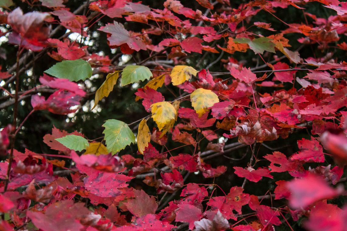 Red maple tree in November