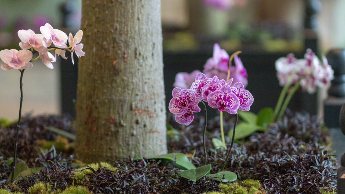 Orchids in the Mansion at Cheekwood | A Garden in Progress